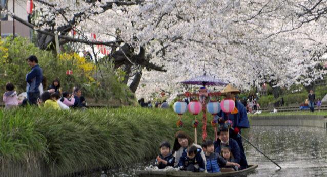 桜舞う元荒川を進む手漕ぎ船