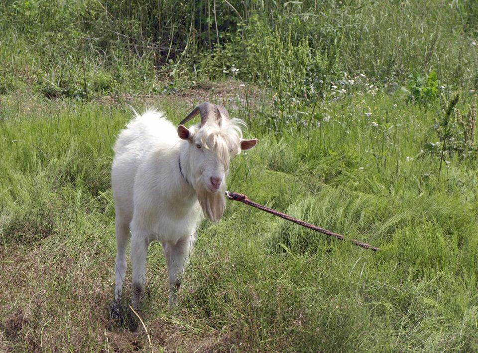 土手で飼われてるヤギ