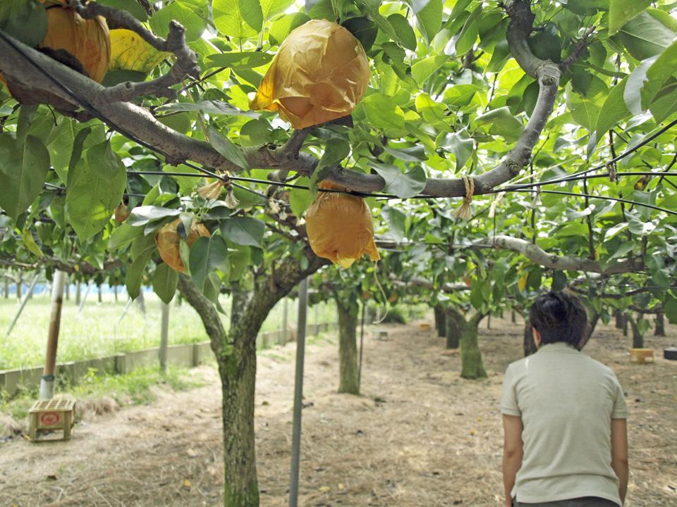 梨畑を突き進む
