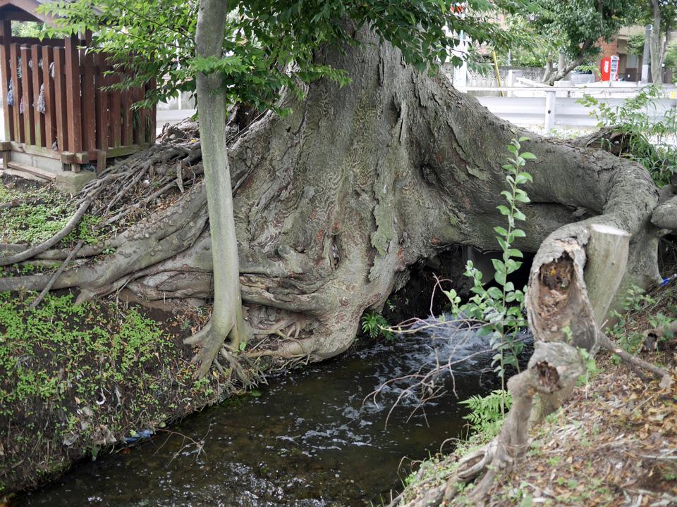 野火止用水をまたいで茂る万年橋のケヤキ