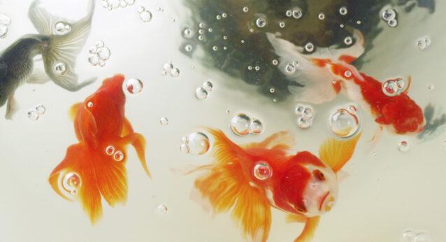 金魚を愛でる