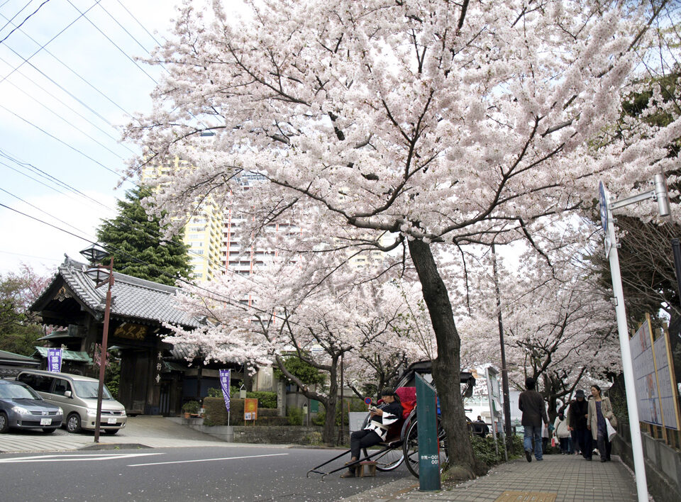 日暮里・本行寺向かいの桜並木