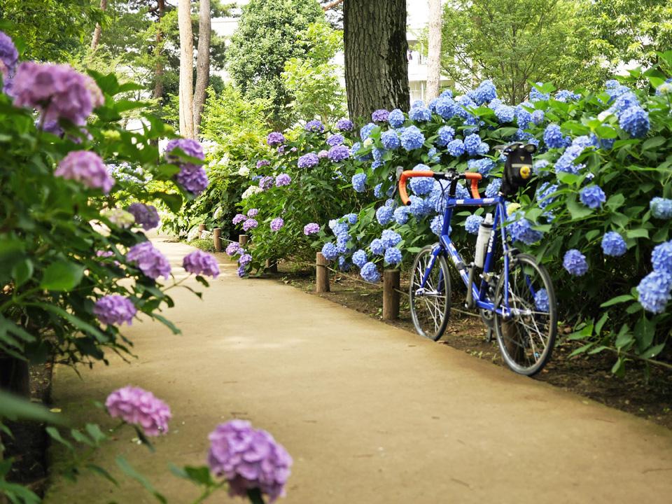 咲き乱れる紫陽花とGIOS FELUCA