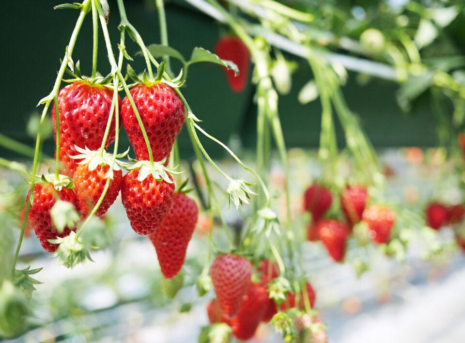 たわわに実ったイチゴを摘んでは食べる