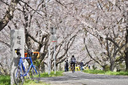 吉見さくら堤公園で桜トンネルへ向かう GIOS FELUCA