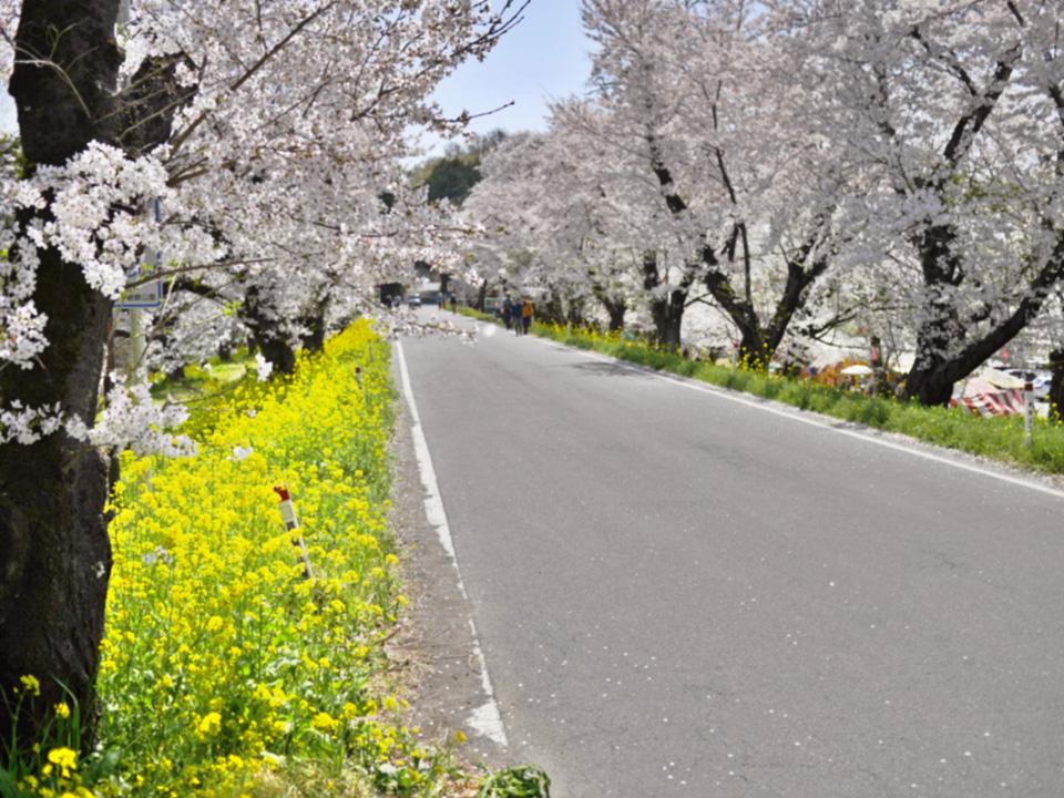 城ヶ谷堤(桜土手)の桜並木を行く
