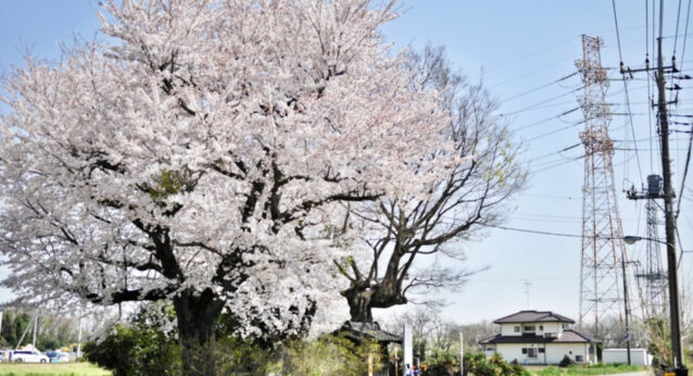 北本七福神(猿田彦大神)の桜
