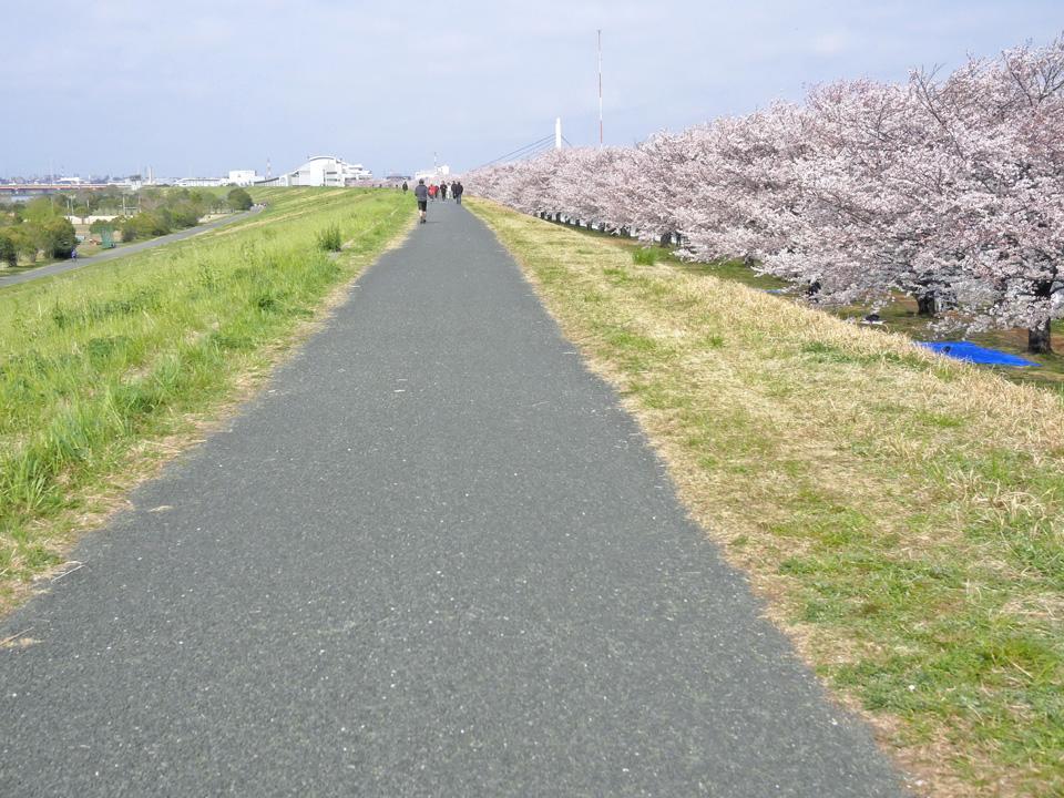 戸田競艇場付近の荒川CRは桜が満開