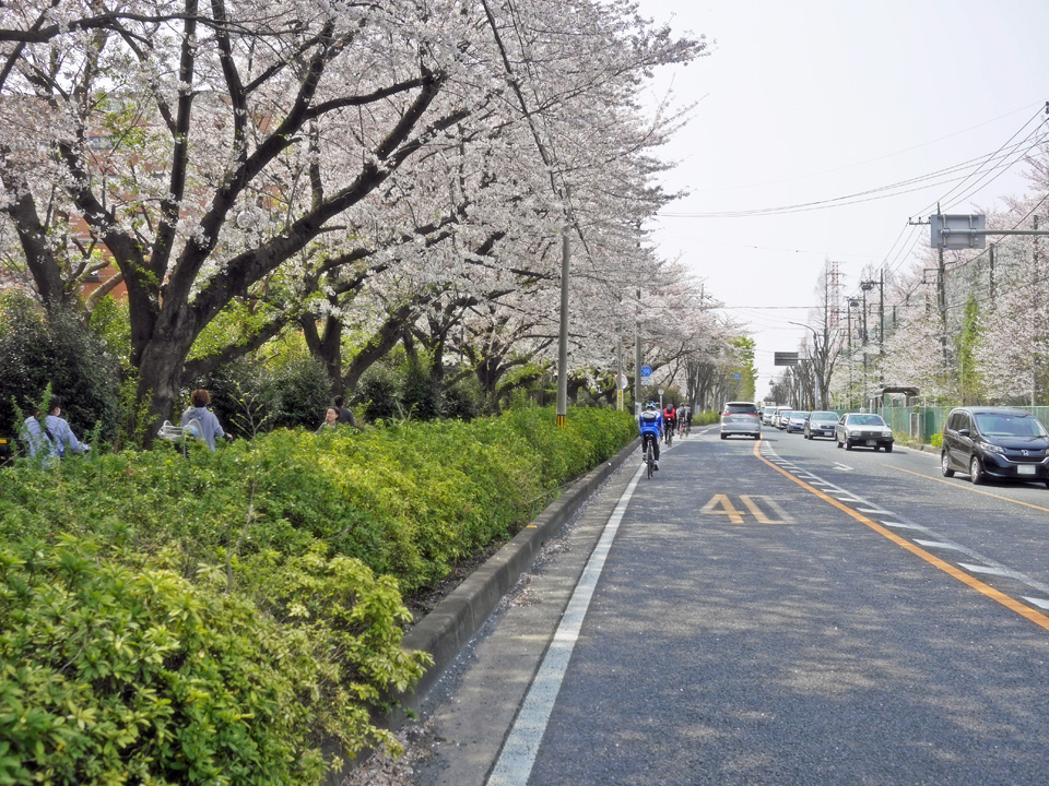 朝霞駐屯地に沿った南大通りの桜並木