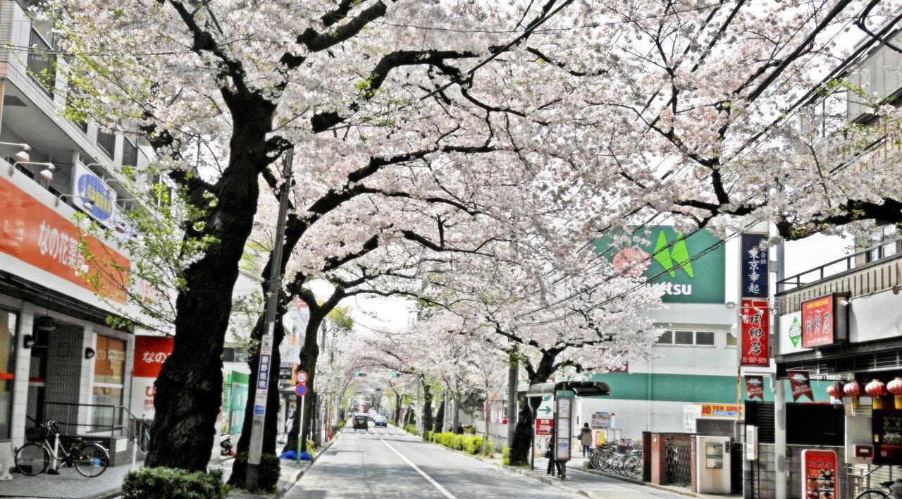 大泉学園通りの桜トンネルを進む