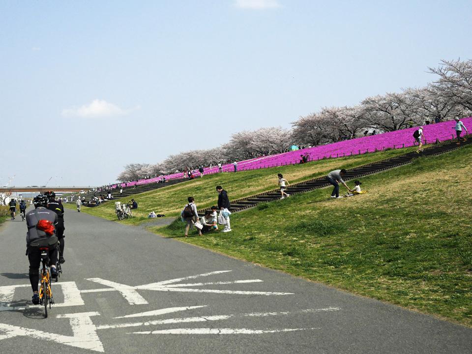 荒川右岸の赤羽桜堤緑地に咲き誇る芝桜