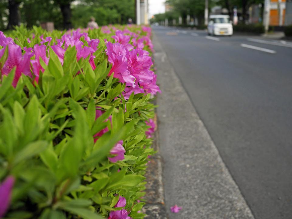 ツツジが咲き乱れる葛西用水桜通り