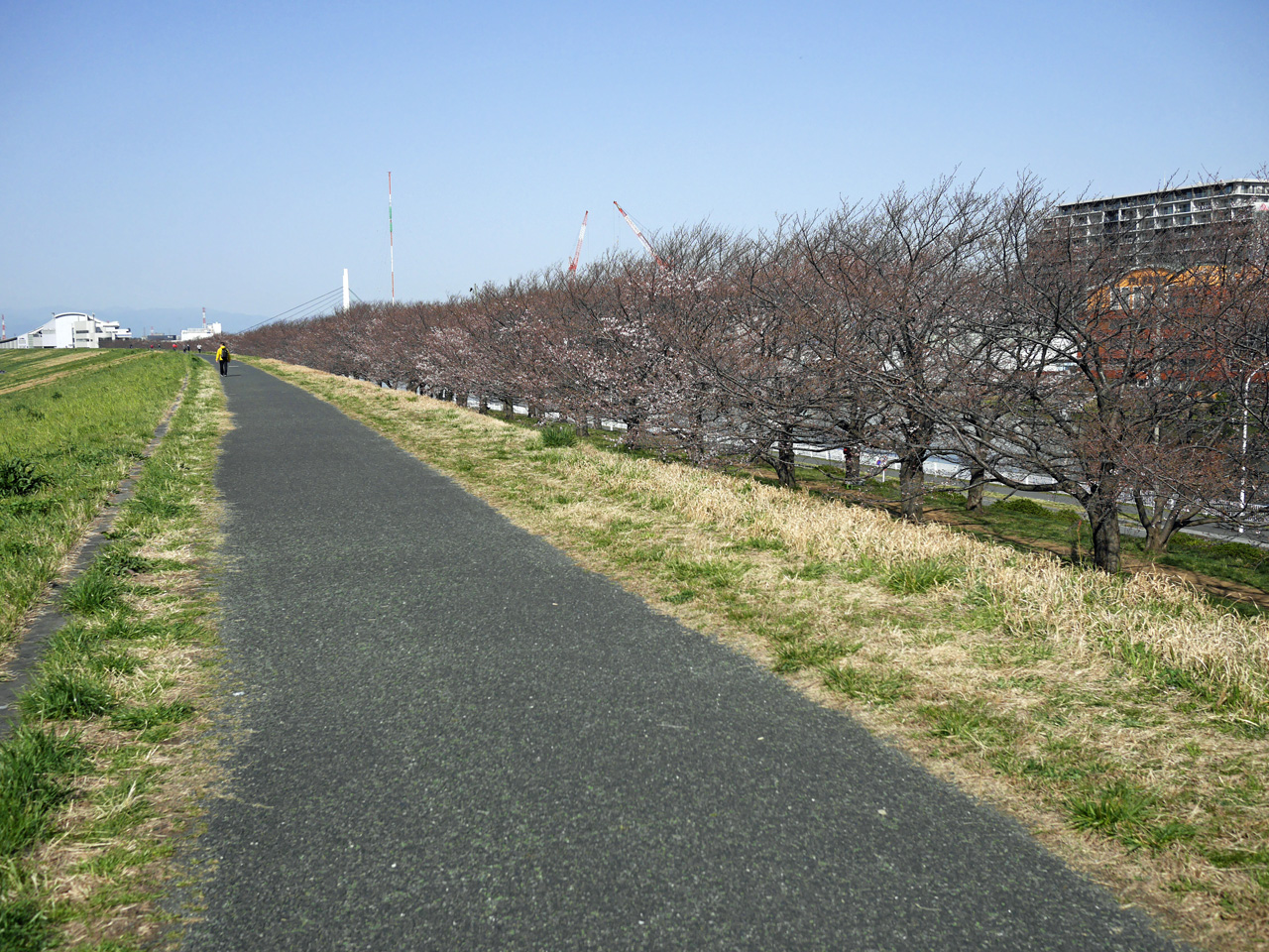 戸田公園の桜は四分咲