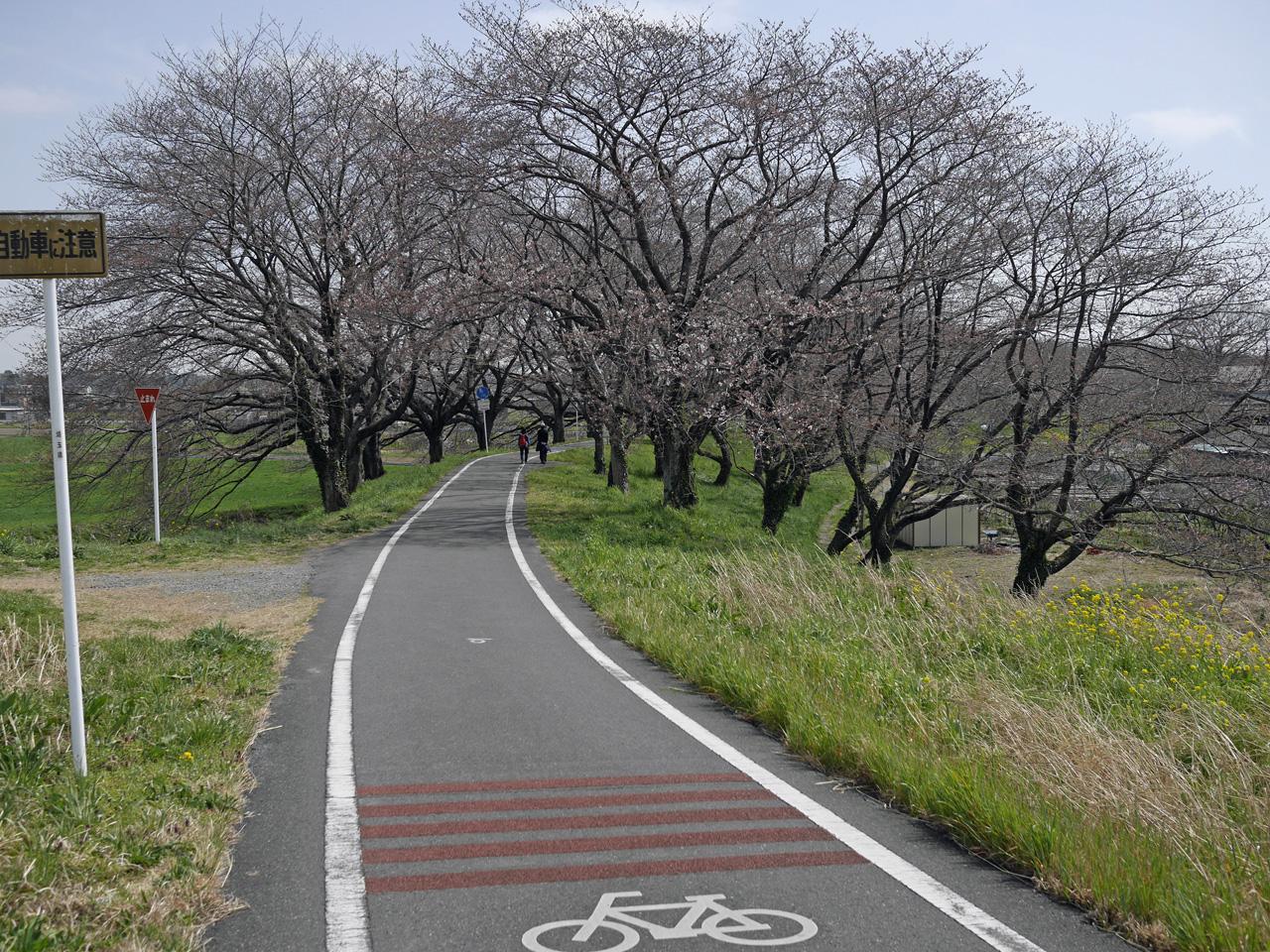 さくら堤公園のソメイヨシノは四分咲き