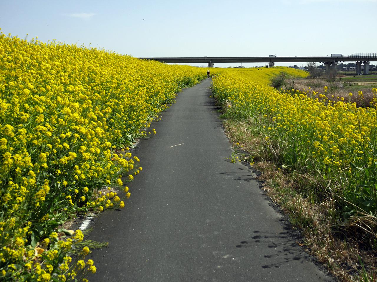黄色い絨毯のように続く荒サイの菜の花