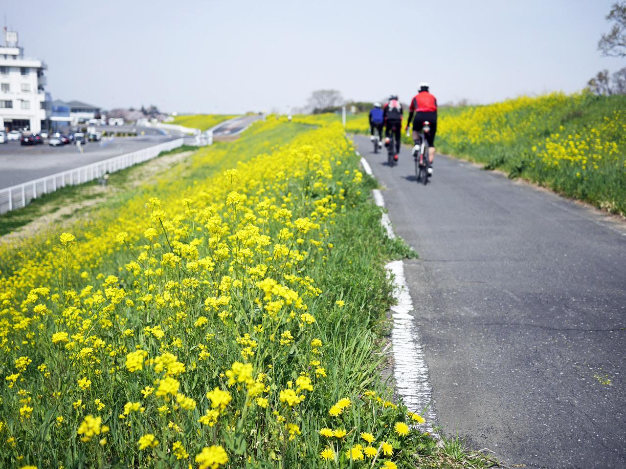 レインボー埼玉から北の荒サイは菜の花が満開