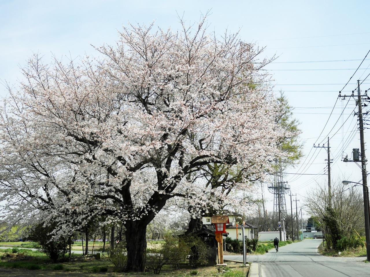 猿田彦大神(北本七福神の福禄寿)の1本桜
