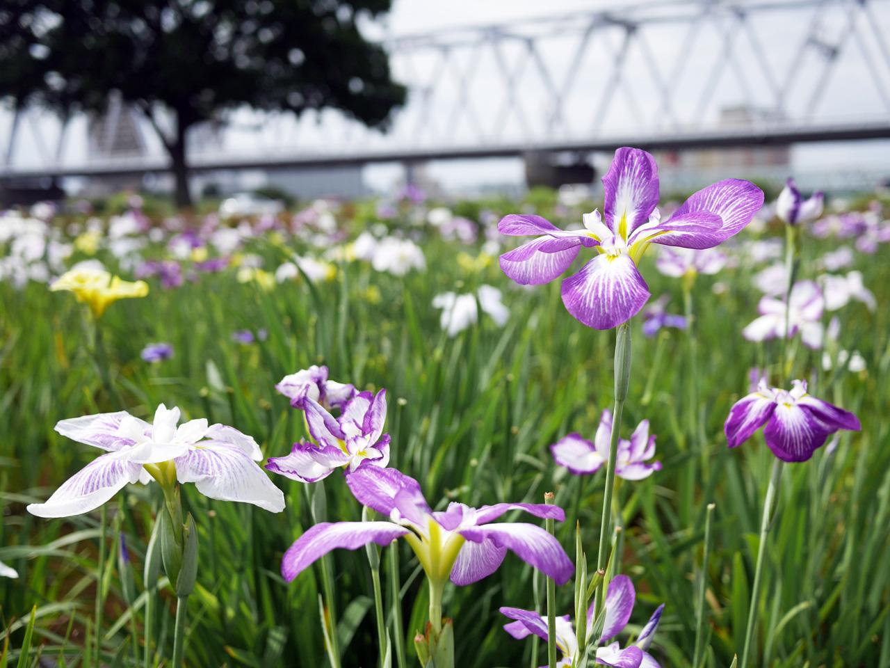 小岩菖蒲園の花菖蒲